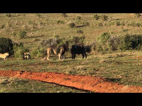 Lions hunting witnessed by Overlandi