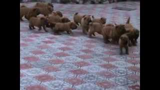 Puppy Sharpei, Kennel Iz Doma Bss - 2015