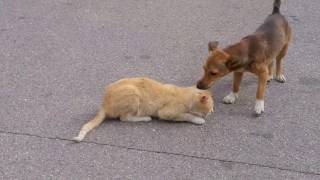 Pies ratujący kota. Dog saving cat from the road