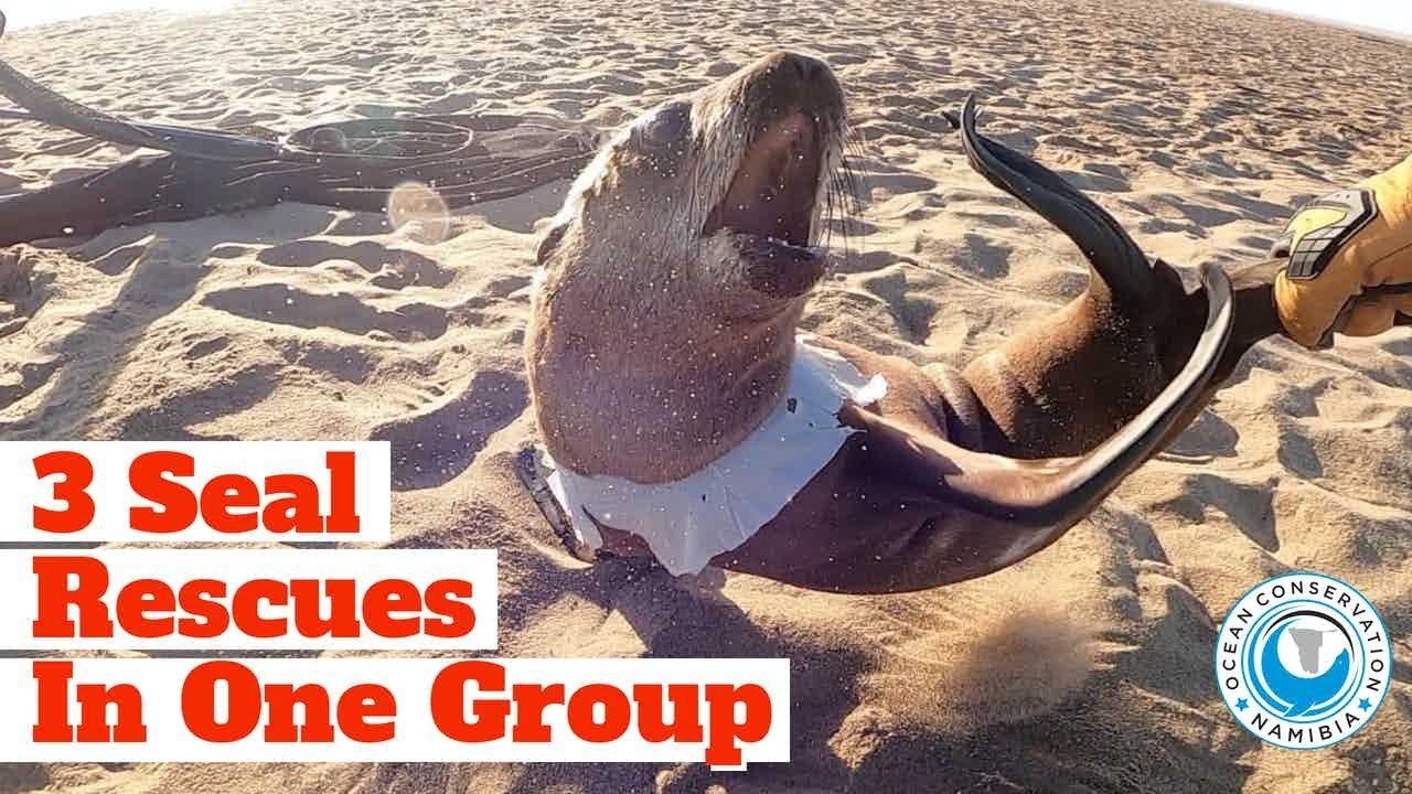 3 Seal Rescues in One Group!