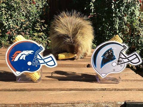 Teddy Bear the Porcupine Predicts Super Bowl 50 Winner