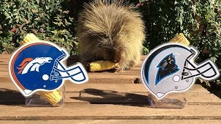Teddy Bear the Porcupine Predicts Super Bowl 50 Winner