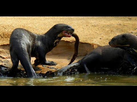 Выдра: гигантская речная выдра ест рыбу. Видео и фото гигантской выдры: Пантанал