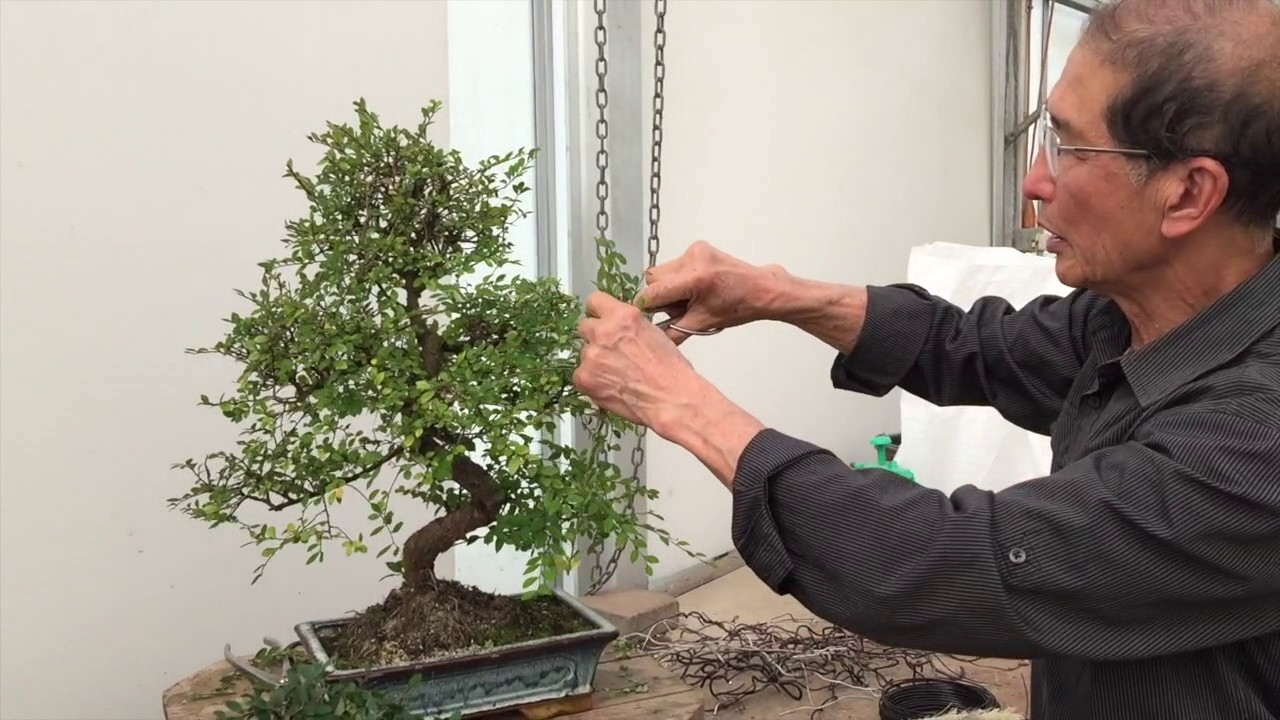 How To Prune A Chinese Elm Bonsai Tree Easy Peter Chan Youtube Wiring Video