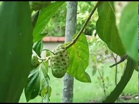Plantas medicinales en el jard n bot nico youtube for Arboles del jardin botanico