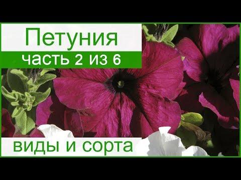 🌺 Виды и сорта петунии – описание