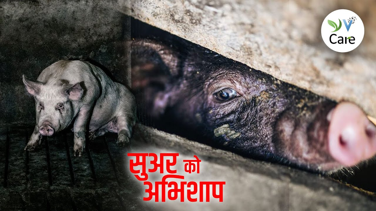सुअर को अभिशाप। A Curse on Pigs