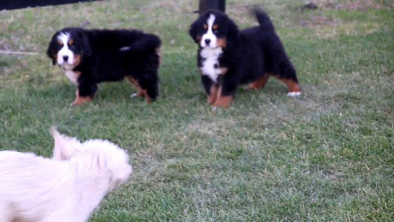 Bernese Mountain Dog Puppies For Sale - YouTube