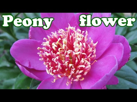 Peony Flower Bush - Peonies Season - Summer Spring Flowers - Perennials Perennial Plants - Jazevox