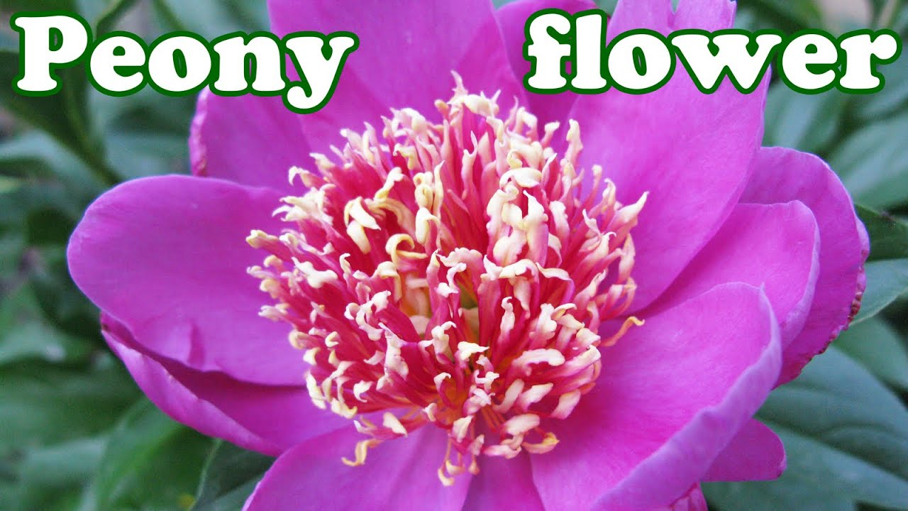 Peony flower bush peonies season summer spring flowers perennials perennial plants jazevox youtube premium mightylinksfo