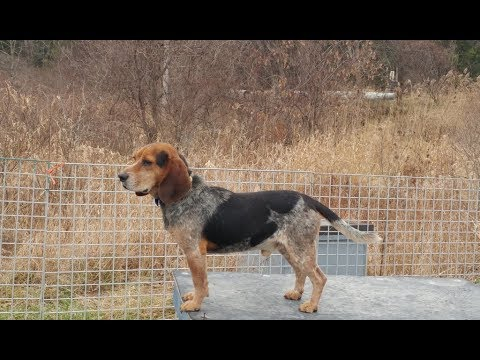 AKC/CKC/UKC BLUETICK BEAGLE DODGE At RIVER STYX SCENT HOUNDS