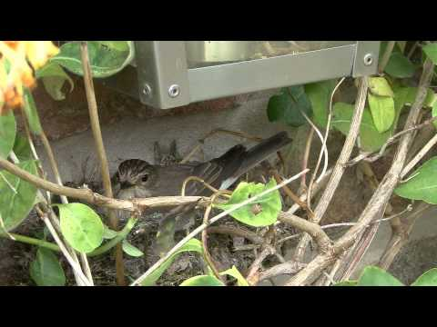 Border Collie Rescue - Spotted Flycatchers