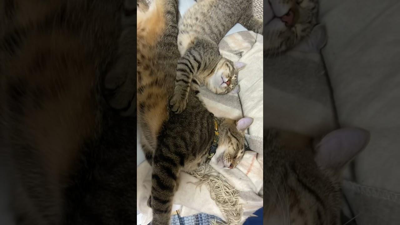 【猫】2人乗りで寝るネチコヤン