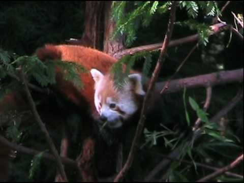 Red Panda Day at Sequoia Park Zoo