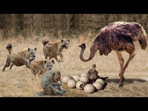 Ostrich Protects The Successful Egg From The Intelligent Monkey And The Violent Hyena
