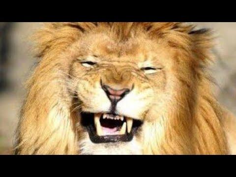 funny lion laugh  LAUGHING LION  lion joke