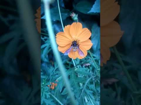 Butterfly and honeybee are collecting flowers juice...CHARAGHIA Herbal clinic..00923334533317 WhatsA