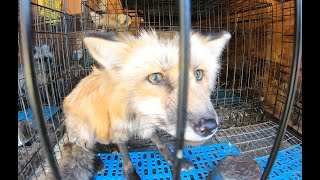 28 Foxes Rescued during pandemic in NY