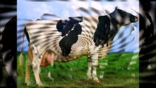 видео Голштинская порода коров: характеристика, фото, отзывы