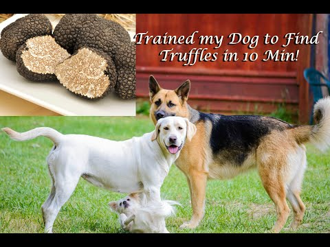 Trained My Dog How To Find Truffles In 10 Minutes! Crazy! Easy Squeezy