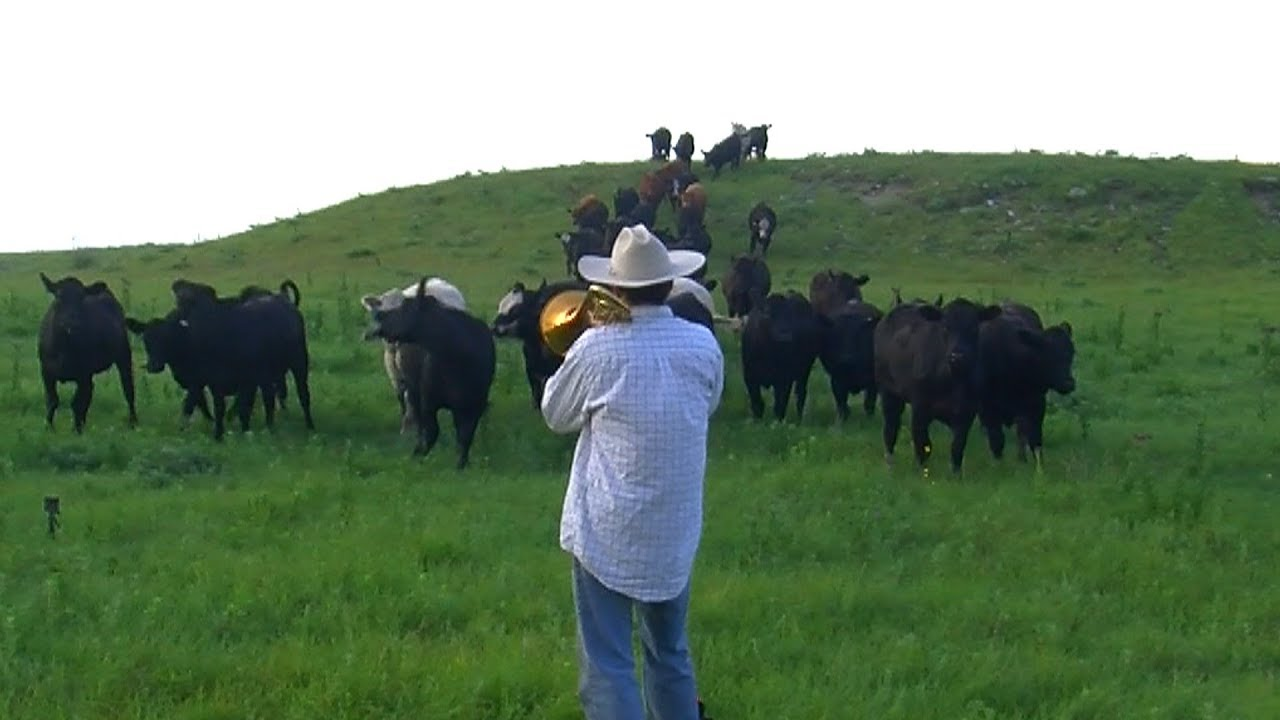 Calling in the Cows playing