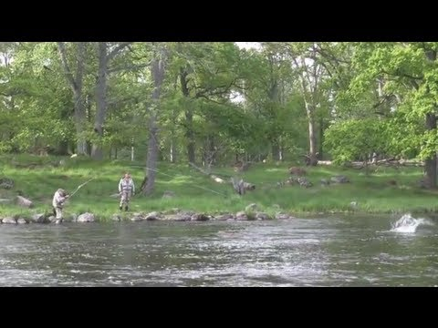 Emån Salmon 45 Lb May Salmon In River Em Sweden Lax Youtube