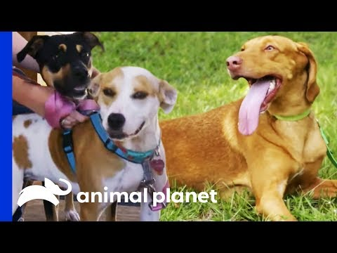 Two Pups Are Looking For A New Brother To Add To Their Family | Pit Bulls & Parolees