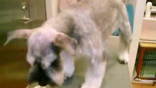 http://www.doggies.tv 今日もスッキリとしたカットのゴンゾー君☆見えな...
