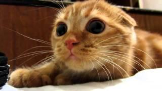 Супер классный шотландский рыжий вислоухий котенок