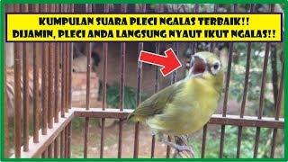 Gambar cover MANTAP!! Pancingan Pleci Ngalas, Kumpulan Pleci Ngalas Terbaik!!