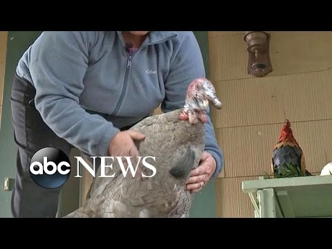 Rescued Thanksgiving Turkey Is Now a Pet
