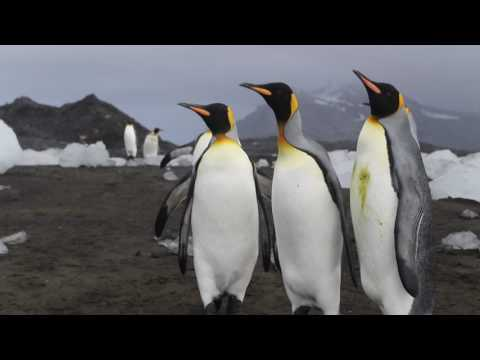 King Penguins, Heard Island