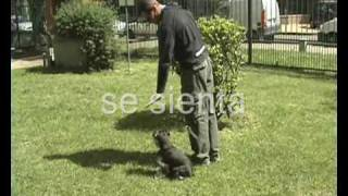Schnauzer mini en obediencia básica sin correa