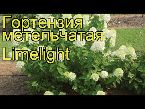 Гортензия метельчатая Limelight. Краткий обзор, описание характеристик