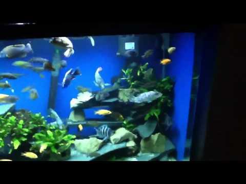 African Cichlids In 500l Aquarium