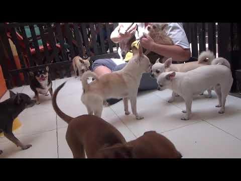 Meet the Chihuahua Club!