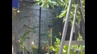 Penangkaran Cucak Rowo - LBF Pemalang