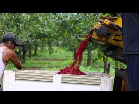 Tart Cherry Season from Blossom to Harvest