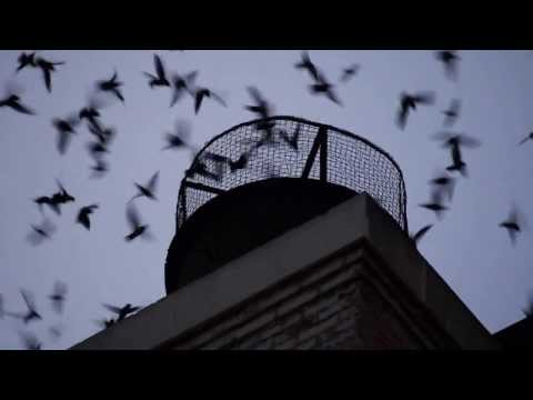 Thousands of Vaux's Swifts Dive into a Chimney, Los Angeles