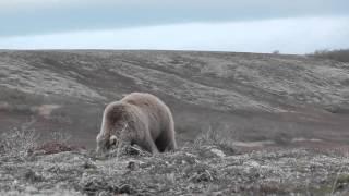 2015 Охота на медведя на полуострове Аляска