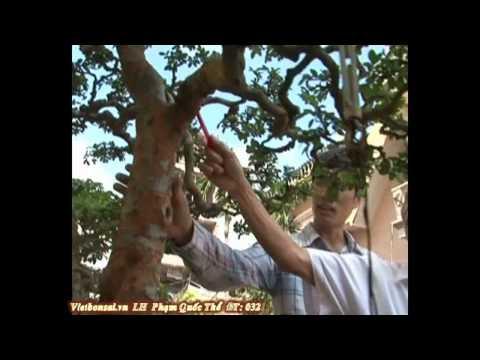 Vietbonsai.vn: Tạo hình nghệ thuật cho cây cảnh - P2