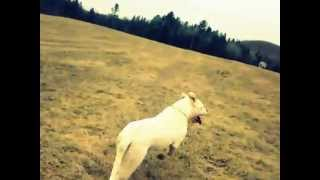 Chico run-Dogo Argentino-Dogue Argentin