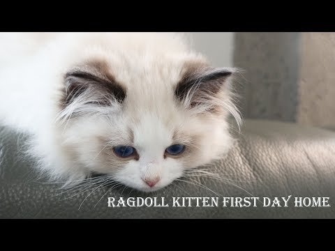 Ragdoll kitten first day home: Three month!| Seal bicolor boy Joule come home 2019