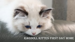Ragdoll kitten first day home Three month| Seal bicolor boy Joule come home 2019