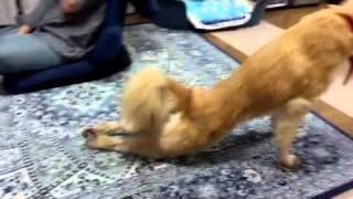 うちに来た「クク」は変なストレッチをします。 こいつ本当に犬なんだろ...