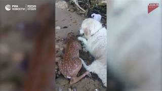 Ретривер по кличке Шторм спас тонущего олененка