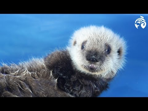 Cutest Sea Otter Pup | Meet Hardy | Vancouver Aquarium