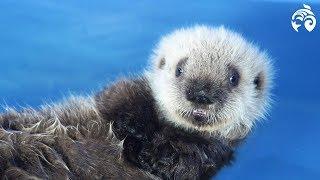 Cutest Sea Otter Pup | Meet Ha…