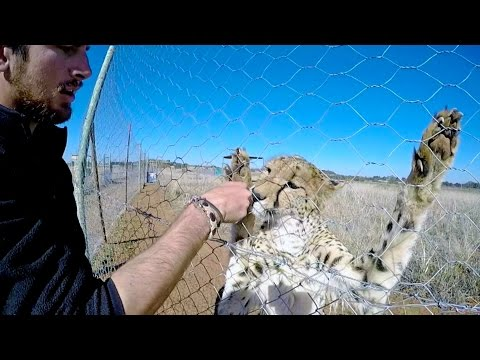 Clicker Training a Cheetah | How Intelligent Are Cats? | Interview With Enrichment Big Cat Trainer