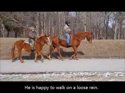 "sold ""Dutch"" Sorrel Quarter Horse Gelding Beginner Pleasure Trail"